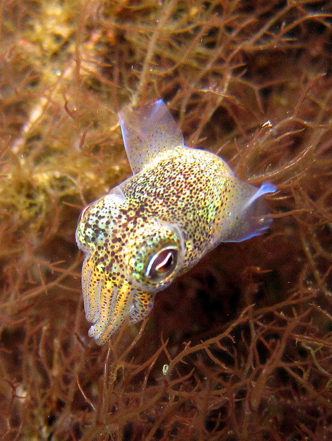 Dumpling Squid by burna10 on Flickr.