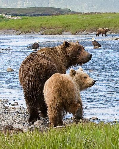 Beauty shots for bears! Now try a soft look to the right… uh huh, this is going to look great with our America back drop!