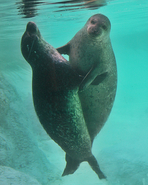 "Seal 1 said: ""Can I have this dance?"" Seal 2 replied: ""Oh yes, you shall."""