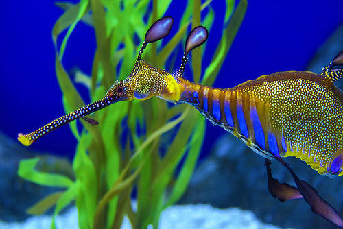 My current favorite sea creature, the Weedy Sea Dragon (/Phyllopteryx)