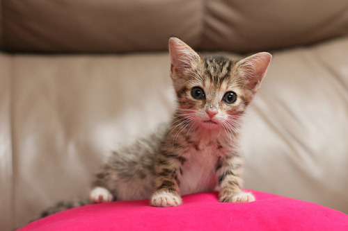 worldlyanimals:  Cute little kitten Pretty on Pink by curtisWarwick on Flickr.