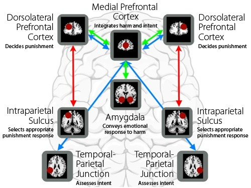 psydoctor8:  Check it out: The first neurobiological model for third-party punishment Here's a a very recent update to my last post on the Neurobiology of Punishment by Joshua W Buckholtz and René Marois, breaking down the events that take place in the brain when asked to make decisions regarding punishment. Of the five processes you have the frontal cortex (higher mental functions) the amygdala (emotional responses) and the intraparietal sulcus and temporal-parietal junction (interpreting the intent of others, thoery of mind).  In the modern criminal justice system, judges and jury members – impartial third-party decision-makers – are tasked to evaluate the severity of a criminal act, the mental state of the accused and the amount of harm done, and then integrate these evaluations with the applicable legal codes and select the most appropriate punishment from available options. (…)   [via]     One of the key take aways is that:  ..it's assumed legal decision-making is purely based on rational thinking, research suggests that much of the motivation for punishing is driven by negative emotional responses to the harm. This signal appears to be generated in the amygdala, causing people to factor in their emotional state when making decisions instead of making solely factual judgments.  Getting ahead of ourselves: glossy brain porn v. emotion   What happens if the jury is presented with neuroscientific evidence suggesting what may have caused the accused to offend, e.g., a brain scan showing a tumor? This may challenge the negative emotional response since it's been reported that this type of evidence is so seductive to juries. >law & order, donk donk<  Article here. [Img: Parts of the brain involved in third party punishment. (Rene Marois, Deborah Brewington/Vanderbilt University)]
