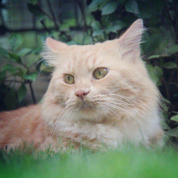 Cero is at the lawn #cat #pet #kucing #redtabby #persian #grass #green #animal (Taken with instagram)