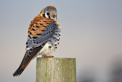 "American Kestrel resting after eating mouse (View large) © by The ""Digital Surgeon"" on Flickr."