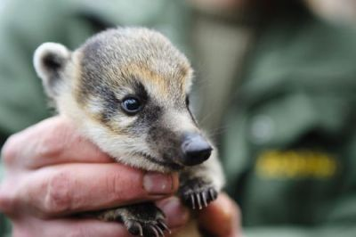 "(via ""Czech up"" for New Coati Babies - ZooBorns)"