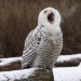 "birdblog:    Snowy Owl yawning in the cold © by The ""Digital Surgeon"" on Flickr."