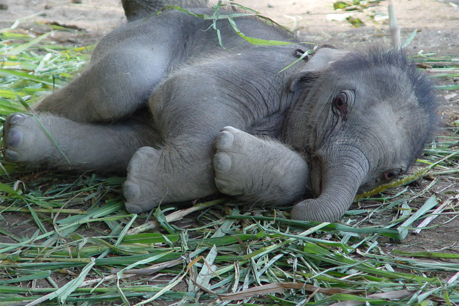 crystalempath:  tr-opicalkid:  hon-ua:  how cute is this baby elephant…  too cute haha  Chillness/Nature/Spirituality and stuff ॐ.