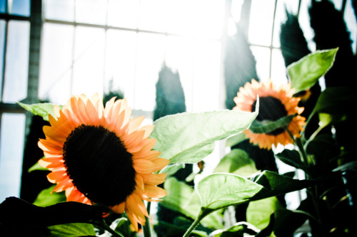 PIC #24 Taken: October 1st, 2011 Subject: Sunflowers in Como Zoo Conservatory.