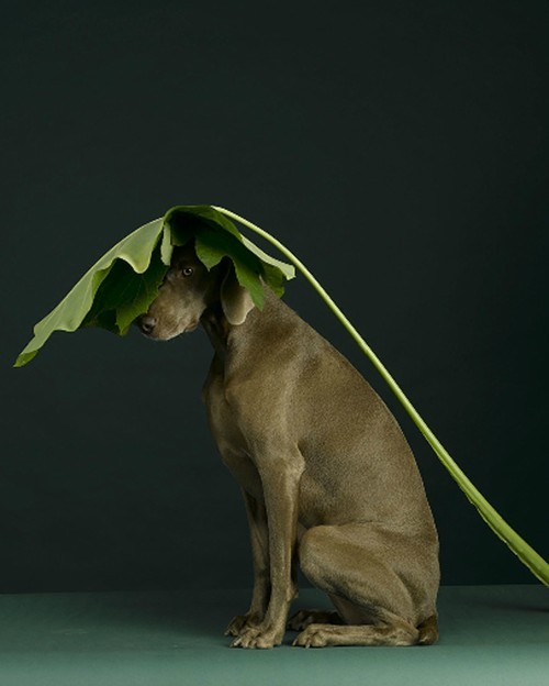idlf:  William Wegman