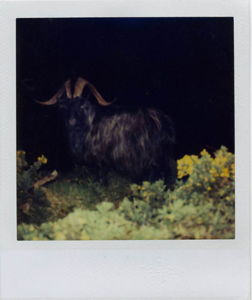 Devon Moore Curtin on Flickr. Wild Goat in  Donegal, Ireland Polaroid sx 70 with a flash bar. thrilling moment here for me.