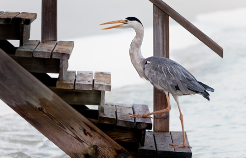Great Blue Heron happily using stairs