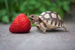 Tortoise v. strawberry