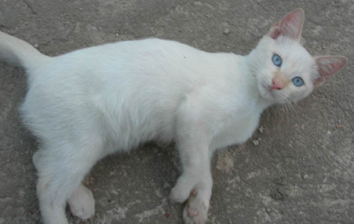 lightnang:  awe i love white cats with blue eyes