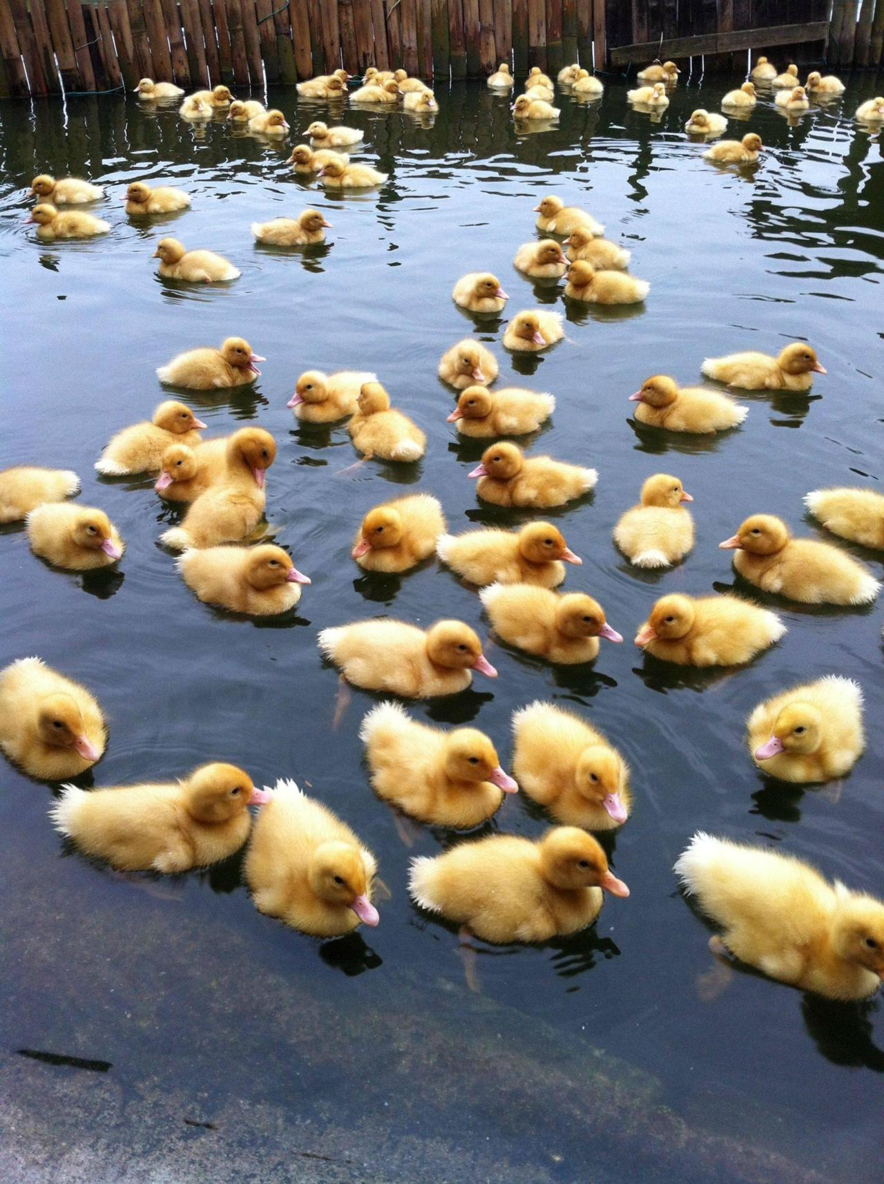 We need more ducks! Photo via Imgur