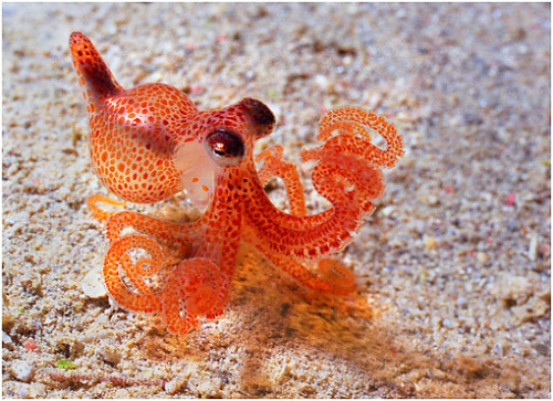 farewellstars:  LOOK AT THE LITTLE OCTOPUS LOOK AT HIS BULGY EYES AND THE TINY TENTACLES DON'T YOU JUST WANT TO PUT A LITTLE LEASH ON HIM AND TAKE HIM FOR A WALK IN A PUDDLE