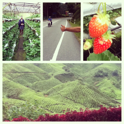 The Cameron Highlands, Malaysia are great if you love strawberry farms, exotic teas, and highland jungle trekking. The tens of thousands of acres of tea plantations are hard not to notice because they are inexplicably beautiful and everywhere.