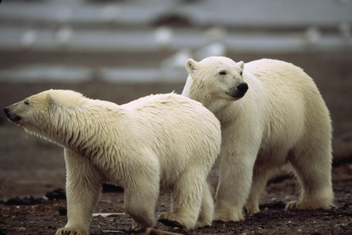 Polar bears sniffing the air on the shore of a bay. (JOEL SARTORE)