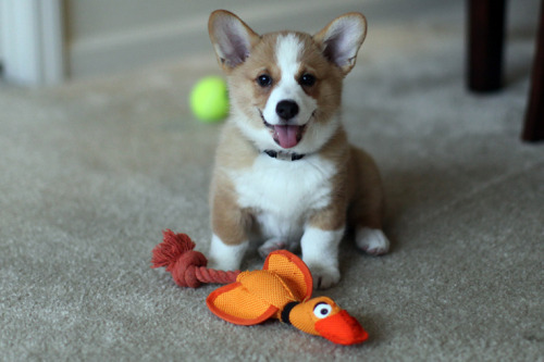 Corgi puppy embodies joy (and love of duck!)