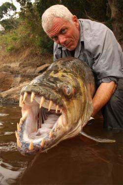 The Goliath Tigerfish (Hydrocynus goliath) is a member of the African tetra family, Alestidae. Being the biggest member of this family, it can grow to reach around 1.4m long. A native of the Congo River basin, the Lualaba River, Lake Upemba and Lake Tanganyika in Africa, it's the largest member of the tigerfish clan, a genus of fierce predators with protruding, daggerlike teeth. Locals say it's the only fish that doesn't fear the crocodile and that it actually eats smaller ones. (source)