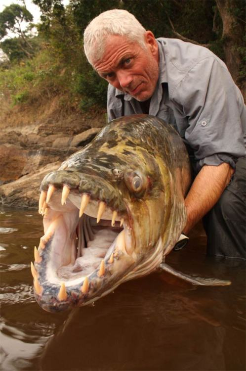 explosionsoflife:  The Goliath Tigerfish (Hydrocynus goliath) is a member of the African tetra family, Alestidae. Being the biggest member of this family, it can grow to reach around 1.4m long. A native of the Congo River basin, the Lualaba River, Lake Upemba and Lake Tanganyika in Africa, it's the largest member of the tigerfish clan, a genus of fierce predators with protruding, daggerlike teeth. Locals say it's the only fish that doesn't fear the crocodile and that it actually eats smaller ones. (source)