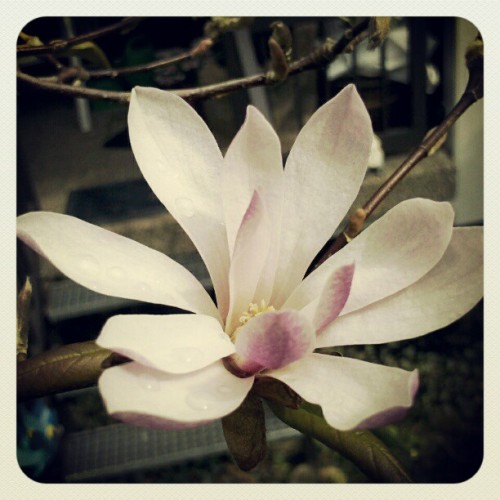 Magnolia#2 (Taken with instagram)