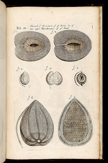 dendroica:  Seed structure by BioDivLibrary on Flickr. The anatomy of plants. [London] : Printed by W. Rawlins, for the author, 1682..biodiversitylibrary.org/page/268253