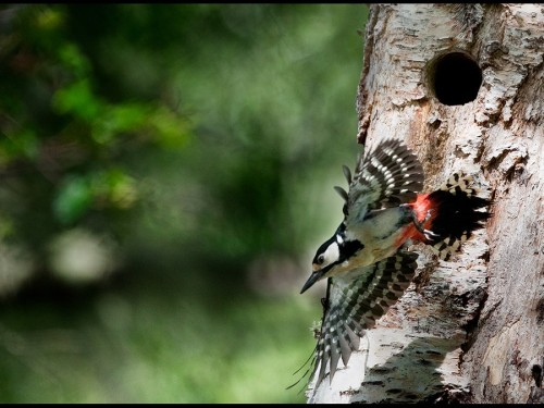 Woodpecker 4, taken in Scotland
