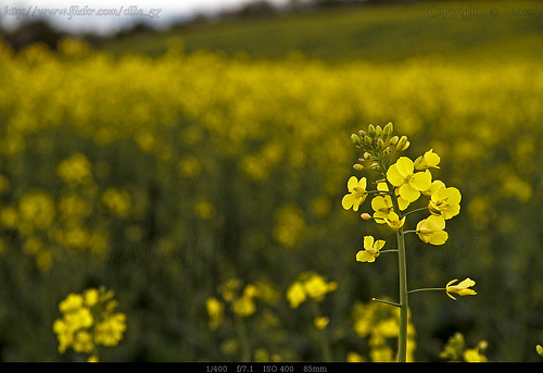 Rapeseed flower.. (by Ollie_57)