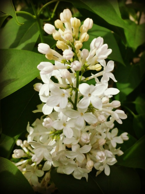 Our white lilac is blooming outside the bedroom window right now.  Their scent is the perfect lullaby and wake up call all in one.