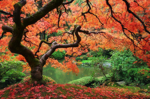 Beautiful Japanese Maple - Portland Japanese Garden
