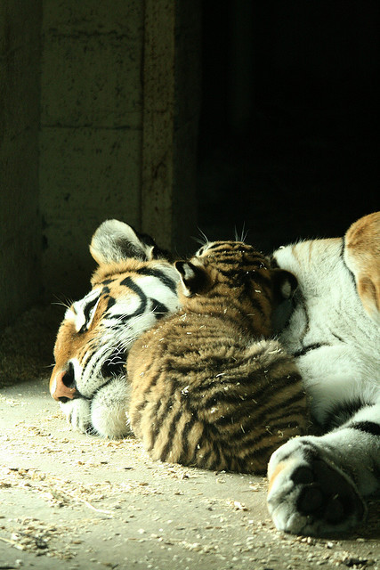 tigersandcompany:  Cuddles with mum (by Lesley4444)