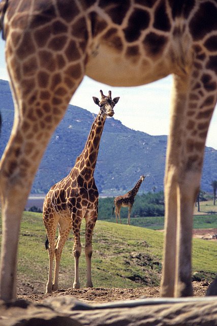 Giraffes by Official San Diego Zoo on Flickr.