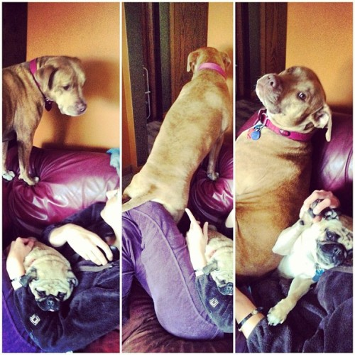 I can't even explain this. #pitbulls and #pugs. #smothering #wtf (Taken with instagram)