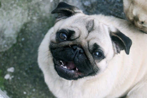 Who doesn't love pugs? ~ Hennriiettee