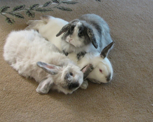 everybodysbunnies:  dorothea:  The 3 beasts by Ccretter on Flickr. I WANNA SNUGGLE.  Look at all the BUNNY in this pile!!!