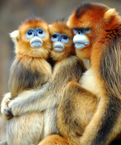 Golden Monkeys try so hard not to be cute until they are blue in the face. Don't call them snub-nosed, they are just shy and come across that way. Read more about them Wikipedia: http://en.wikipedia.org/wiki/Golden_snub-nosed_monkey