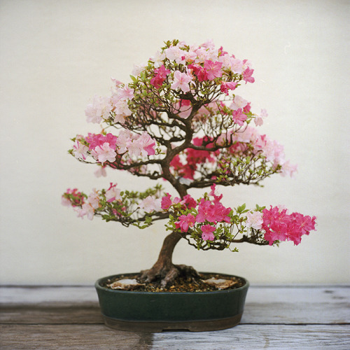 cherry blossom bonsai // us national arboretum - washington dc // rolleiflex 2.8e i got really excited when i found out that the us national arboretum in dc has a bonsai and penjing museum. a LOT of amazing bonsai/penjing trees. oldest one i saw had been training for 105 years. this cherry blossom bonsai stood out drastically when i was walking into the room because the color palette was the most different.