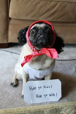 wholetthepugsout:  cutepugpics:  Ladies and gentlepeople, meet Antoine Pugson!  You crazy for this one 'cutepugspics'  <33333 hahahahaha!!!