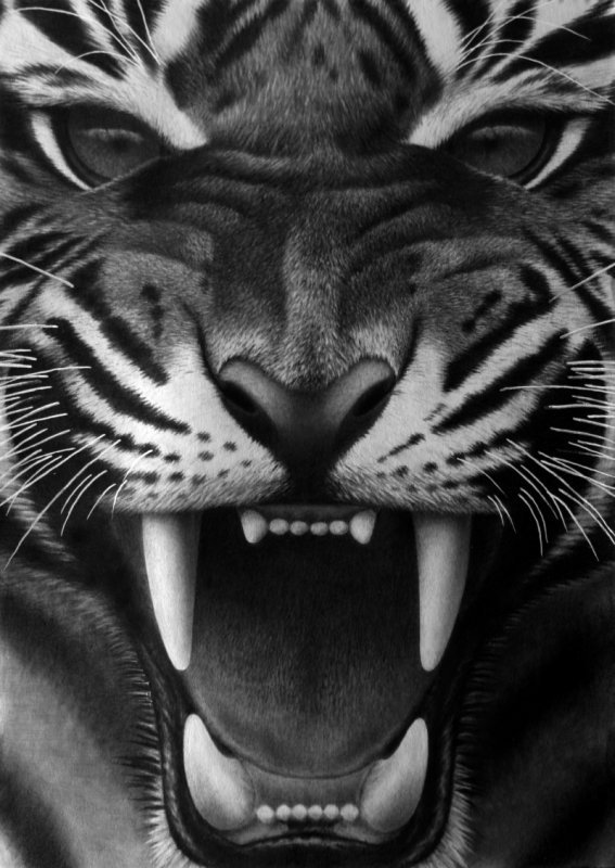 Fangs III, pencil by ~Panthera11