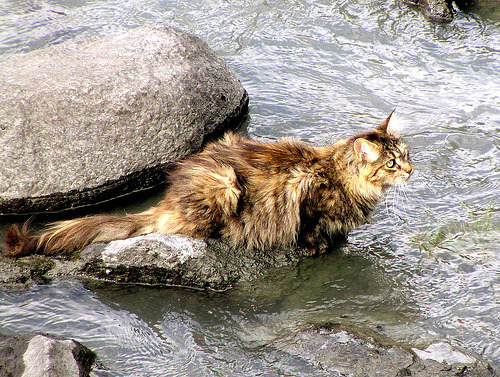 Typologies: Norwegian Forest Cat  kyle has one of these. that cat is a badass.