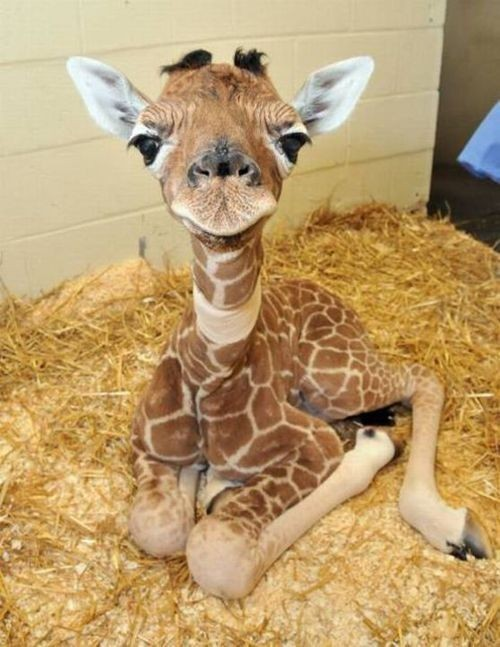 cherrylisa:  Baby giraffes are CUTE