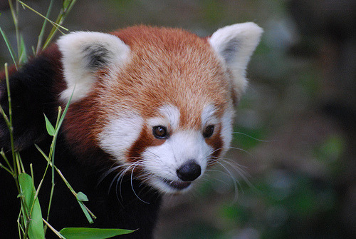 llbwwb:  Red Panda (Ailurus fulgens) enjoying a bamboo snack (by Ungulate Dave)