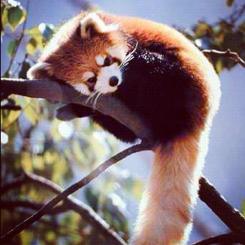 Too fucking adorable!  #RedPanda (Taken with instagram)