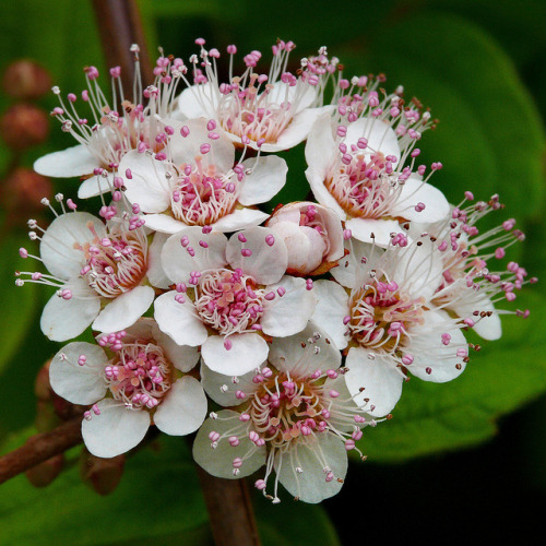 snowonredearth:  Spiraea henryi #1 by J.G. in S.F. on Flickr.