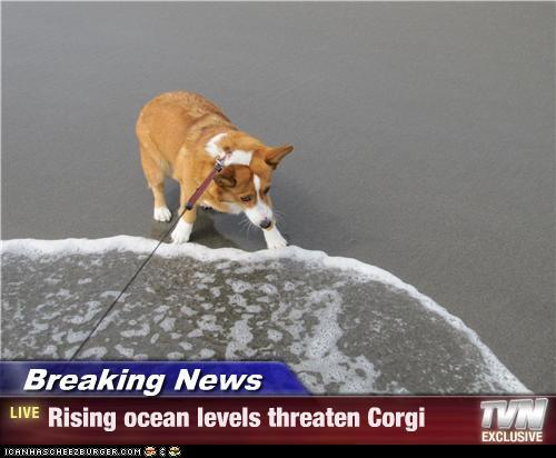 Global Warming Corgi
