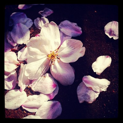 Fallen. #cherryblossoms #sakura #flowers #flower #petals #petal (Taken with instagram)