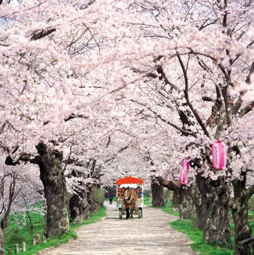 Japan, cherry blossom tour