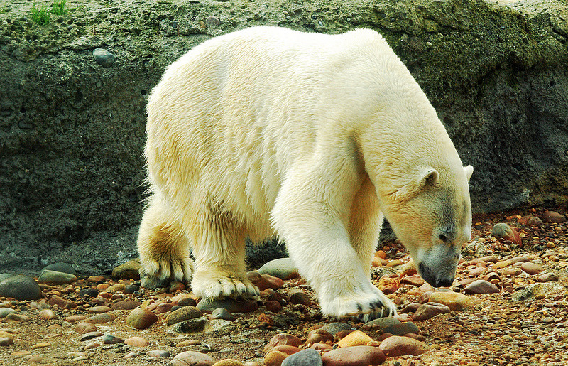 thepolarbearblog:  Point Defiance Polar Bear by Mrbwa1 on Flickr
