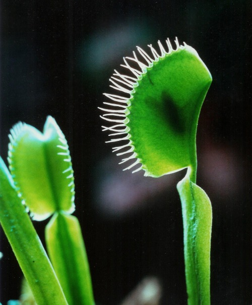 brilliantbotany:  Most people will recognize the Venus Fly Trap, a plant famous for feeding on insects and arachnids. Dionaea muscipula is carnivorous. It closes its jaws when two separate hairs on its surface are moved in succession. These hairs are called trichomes.
