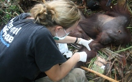 Pelangsi the Orangutan, the latest victim of the palm oil industry in Indonesia, is lucky to be alive. The young male was close to death when a team from International Animal Rescue cut him loose from a snare that kept him a prisoner without food or water for 10 days. (Read more)